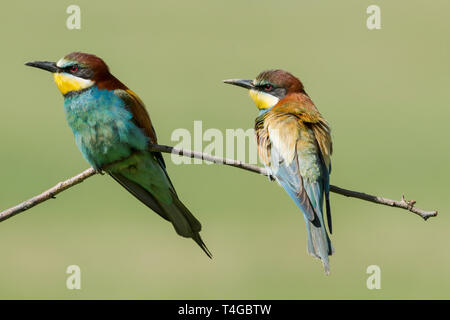 Male (left) and female (right)  European bee-eaters, Latin name Merops apiaster, perched on a branch in warm lighting showing both front and back plum - Stock Image