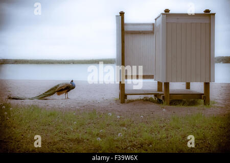 Peacock on the beach - Stock Image