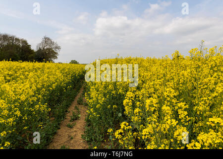 Pathway through rape seed field UK - Stock Image