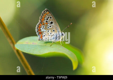 Aricia anteros, the blue argus butterfly resting in a forest - Stock Image