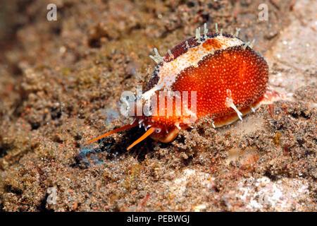 Graceful cowry, or Graceful Cowrie, Purpuradusta gracilis, showing mantle, eye and syphon. Previously described as Cypraea gracilis. Tulamben, Bali - Stock Image