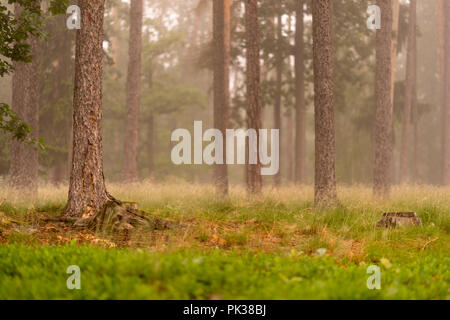 Fog in the forrest. Brown trunks and green grass. - Stock Image
