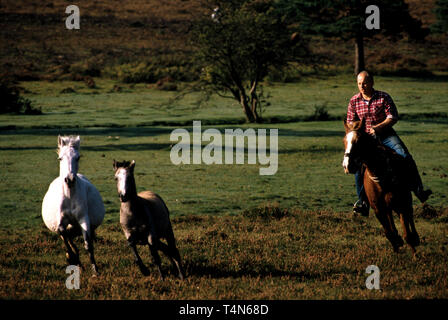 New Forest Pony round up in 1986 Photos show the annual round up or Drift of the New Forest Ponies in the the New Forest in Hampshire England in 1986. - Stock Image