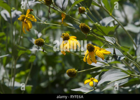 Lovely long stemmed, bright yellow coneflowers growing tilted towards the sunlight in summer - Stock Image