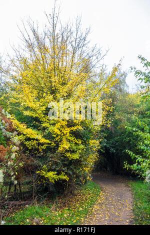 Sycamore Acer pseudoplatanus in autumn - Stock Image