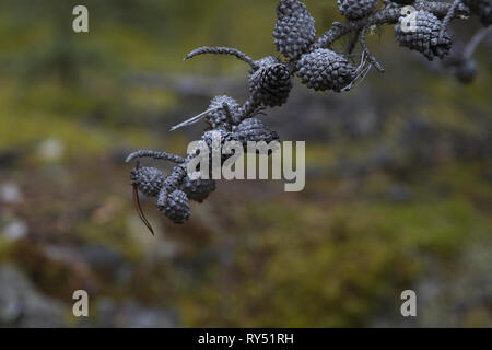 Close up of gray pine cones remaining on dead tree branch is symbolic of death and grief.  Copy space on bokeh of horizontal photograph. - Stock Image