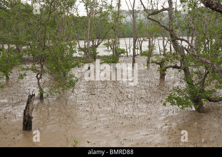 Mangrove swamp, Bako National Park, Borneo - Stock Image