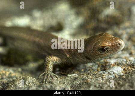 Really young european common lizard (Lacerta vivipara) - Stock Image