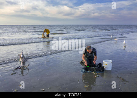 Shrimper sorting catch from shrimp drag net on the beach caught along the North Sea coast - Stock Image