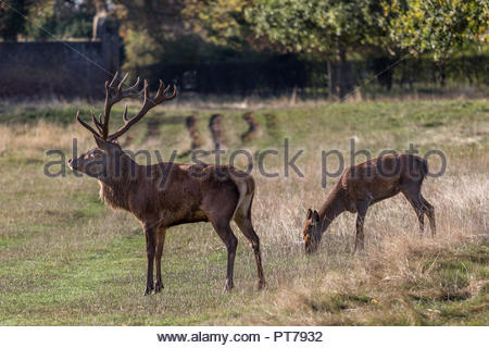 Bushy Park, Hampton, London. 7th October 2018. A mature red deer stag guards a hind grazing in the early morning sunshine. Credit: Images by Russell/Alamy Live News Credit: Images by Russell/Alamy Live News - Stock Image