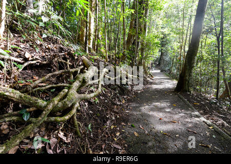 Exposed tangled roots in the tropical rainforest, Hypipamee National Park, World Heritage, Atherton Tableland,  Far North Queensland, FNQ, QLD, Austra - Stock Image
