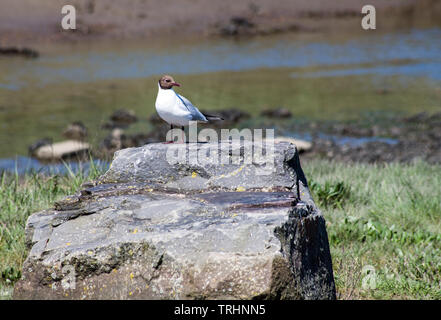Black Headed Gull on rock on the Gower peninsula south Wales - Stock Image