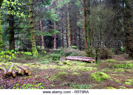 Mossy woodland with some cut down tree trunks. - Stock Image