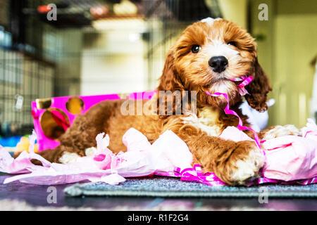 Cockapoo puppy, Cocker spaniel cross Poodle puppy, Cockapoo puppies, Cockapoo, red and white Cockapoo, puppy, puppies, cute puppy, cute puppies, - Stock Image