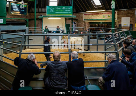 A cow being sold in the Auction ring in Northallerton North Yorkshire - Stock Image