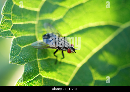 house fly on leaf macro photo - Stock Image