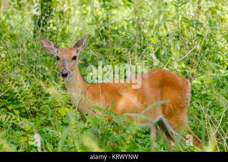 White-tailed deer doe. Odocoileus virginianus - Stock Image