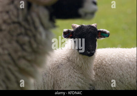 Dalesbred lamb with ewe, Swaledale, Yorkshire Dales, England - Stock Image
