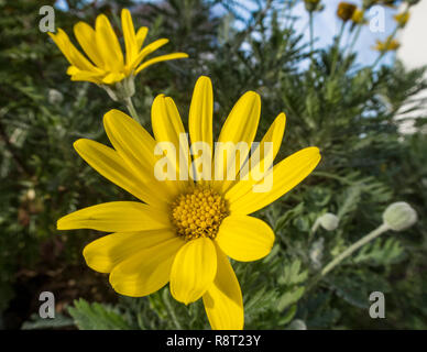 Euryops pectinatus, African daisy,flowering in winter, Devon, UK - Stock Image