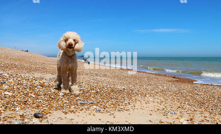 Poodles on Walmer Beach - Stock Image