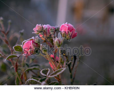 Frozen pink roses in a garden, pre-winter in Northern Europe, Scandinavia. - Stock Image