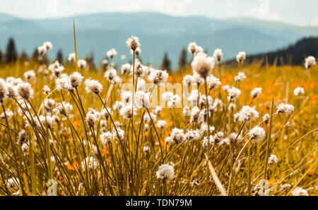 dried flowers on the field with mountains background - Stock Image