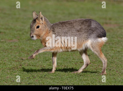 Mara (dolichotis patagonum) - Stock Image