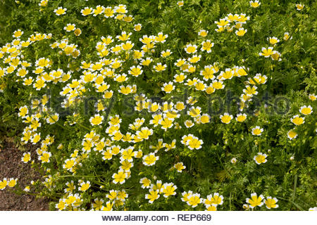 Limnanthes douglasii - also known as poached egg plant - Stock Image