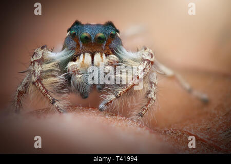Close-up of a jumping spider (phiddipus putnami), Indonesia - Stock Image