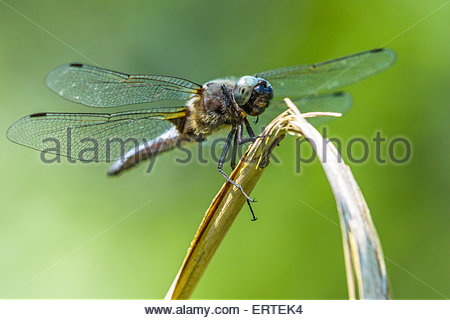 Libellula fulva known as the Scarce Chaser dragonfly (adult male) - Stock Image