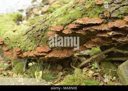 Turkeytail Fungi on a Log - Stock Image