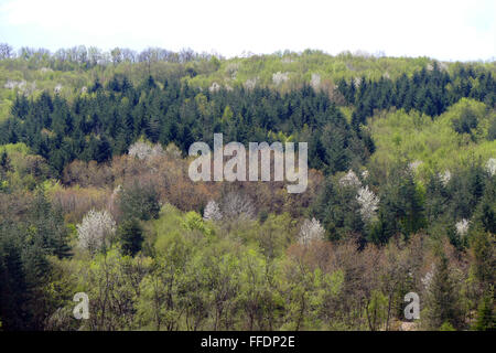 Spring forest. Flowering cherries in mixed forest. - Stock Image