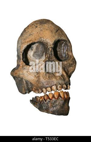 Taung Child Skull - Australopithecus africanus - Stock Image