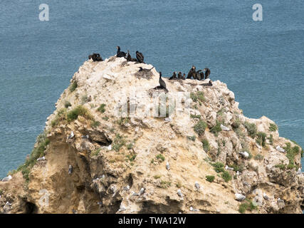 Cormorants (Phalacrocorax carbo) nesting on a  sea stack in Marsden Bay, north east England, UK - Stock Image