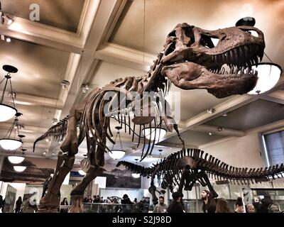 Tyrannosaurus rex or T-Rex at the American museum of natural history in New York City - Stock Image