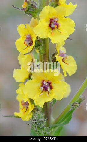 Yellow flowers of dark mullein (Verbascum nigrum) growing on very poor pebbly ground behind the beach of Rye Bay. Rye Harbour Nature Reserve, Rye, Sus - Stock Image