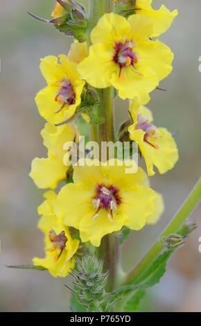 Yellow flowers of dark mullein (Verbascum nigrum) growing on very poor pebbly ground behind the beach of Rye Bay. Rye Harbour Nature Reserve, Rye, Sus - Stock Image