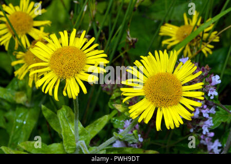 Pulicaria dysenterica (common fleabane) occurs in damp, open habitats such as water meadows, fens, damp woodland rides and dune slacks. - Stock Image
