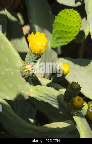 Italy Sicily Agrigento Valle dei Templi Valley of the Temples start 581BC by colonists from Gela wild cactus cacti in flower bloom engraved leafs - Stock Image