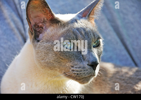 Siamese Blue Point cat - Stock Image