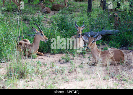 Impala in the Kruger National Park, South Africa - Stock Image