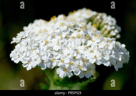 Yarrow (achillea millefolium), also known as Milfoil, close up of a solitary flower head. - Stock Image