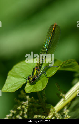 Female banded demoiselle perched on a bind weed leaf on a riverbank - Stock Image