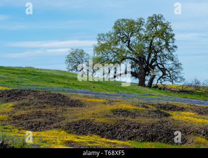 Landscape at North Table Mountain Ecological Preserve, Oroville, California, USA , on a sunny spring day, featuring lone oak tree, wildflowers, and vo - Stock Image