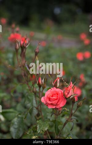 First Edition Floribunda roses at the Owen Rose Garden in Eugene, Oregon, USA. - Stock Image