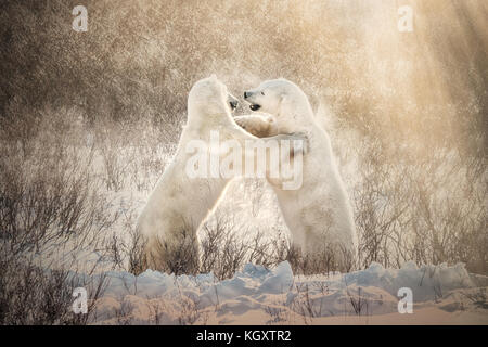 Two polar bears in their natural habitat playfully sparring together in golden light and snow at Churchill, Manitoba, - Stock Image