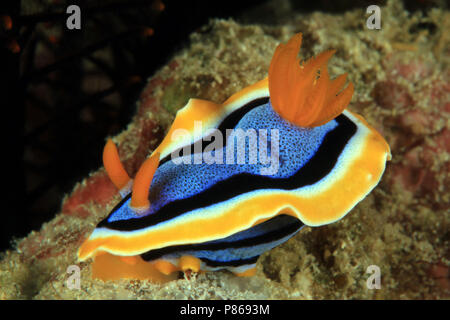 Chromodoris Annae Nudbranch. Anilao, Philippines - Stock Image