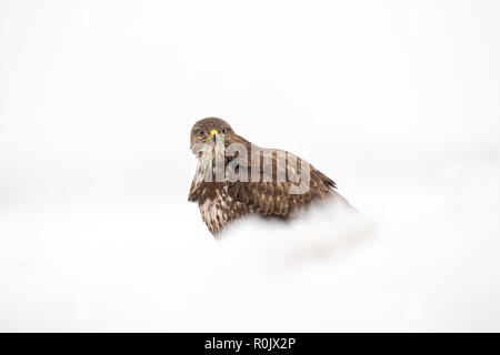 Common Buzzard (Buteo buteo) standing in snow, Koros-Maros National Park, Hungary - Stock Image