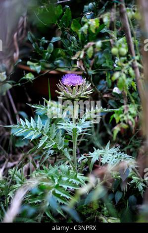 Globe Artichoke (Cynara cardunculus) in flower in organic vegetable garden - Stock Image