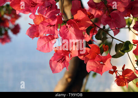 Beautiful dark pink flowers in a closeup. In the background you can see some water. Photographed in the paradise island of Madeira, Portugal. - Stock Image
